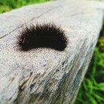 "My Outdoor Family: Meet a caterpillar named ""Fuzzy"""