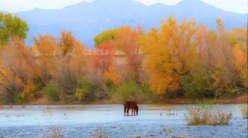 Where To See The Wild Horses of Salt River, Arizona